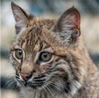 Mary the bobcat