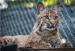 mary the male bobcat