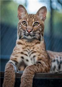 interested rescue bobcat