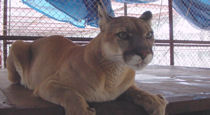 rescue cougar in sanctuary