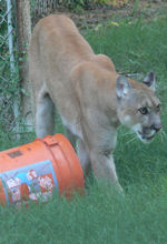 rescue cougar playing