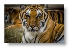 mohan the tiger