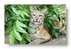 moses the bobcat