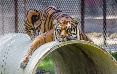 tiger relaxing on pipe funny