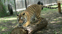 tiger scratching post