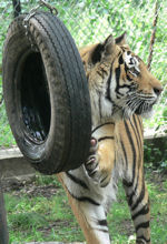 tiger and tire swing