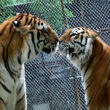 Raja & jasmine the tigers