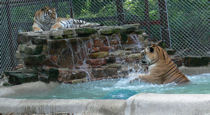 tigers relaxing in pool