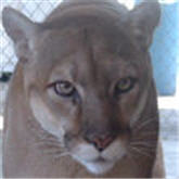 rescue cougar sanctuary