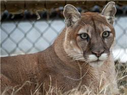 rescue cougar in the grass