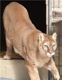 rescue cougar walking outside