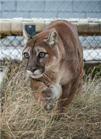 sneaky curious cougar