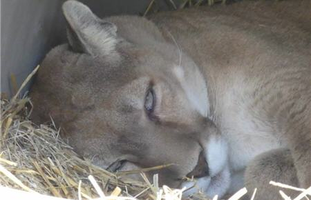sleepy rescue cougar