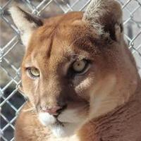 rogue the cougar