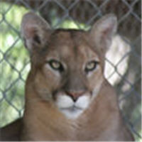 sahara the cougar