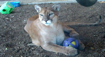 cougar and her toy