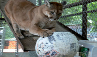 sahara the cougar playing