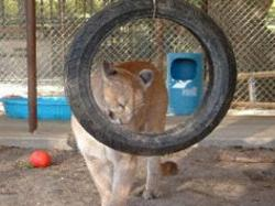 cougar tire swing