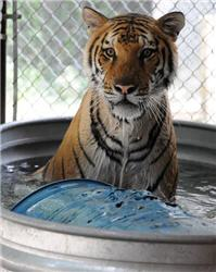 tiger in a tub