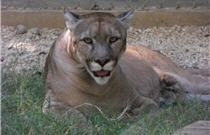 rescue cougar laying down