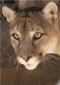 intense rescue cougar eyes