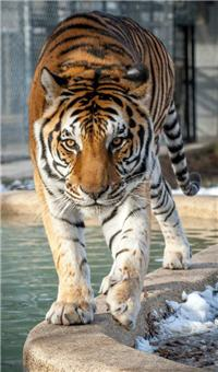 rescue tiger walking