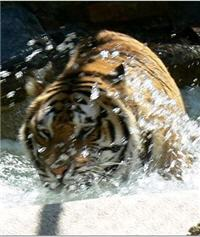 tiger splashing