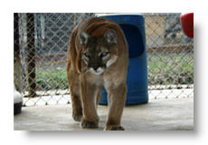 tahoe the cougar