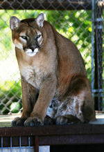 rescue cougar sitting