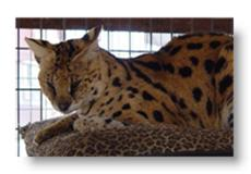 tramp the serval