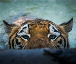 sneaky tiger