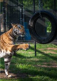 rescue tiger playing