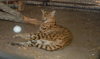 rescue serval dakota