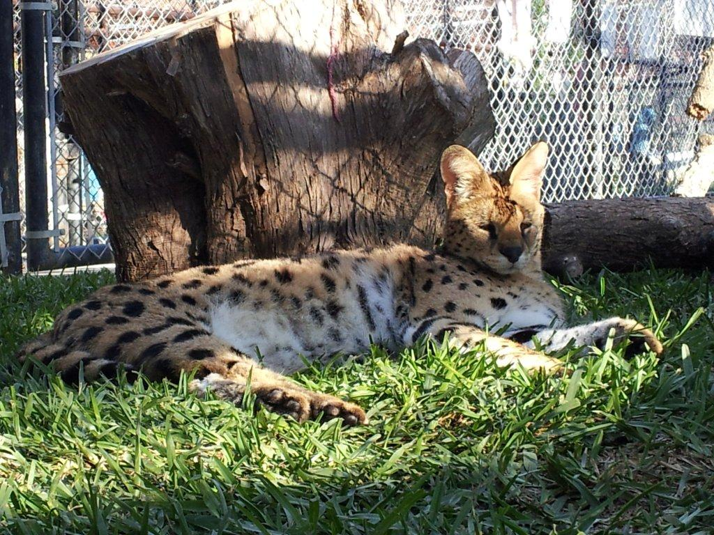 midday nap serval