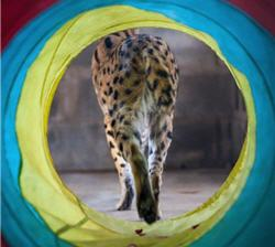 serval walking through tunnel