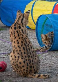 rescue servals playing