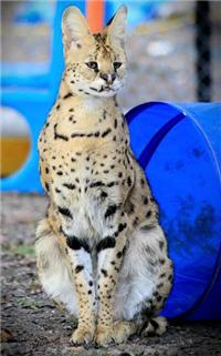 interested rescue serval