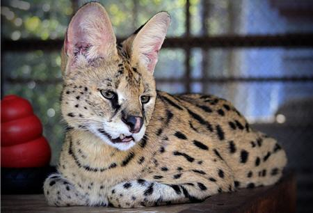 are you kidding me serval