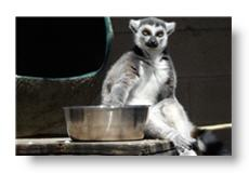 loki the lemur