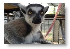 mitzy the lemur