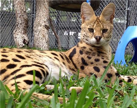 rescue serval laying in the grass