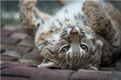 bobcat rolling around