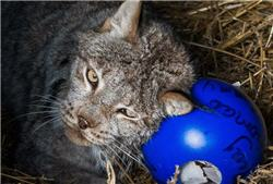 lynx and a ball