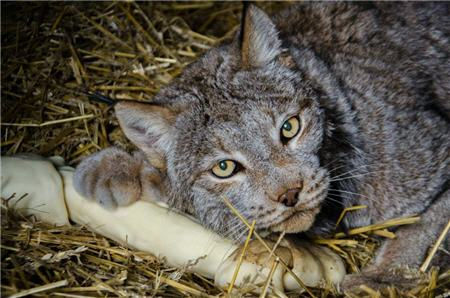 rescue lynx and a dog bone