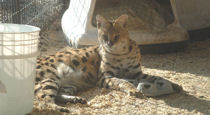 rescue serval relaxing