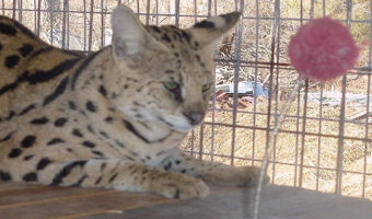 rescue serval trying to sleep