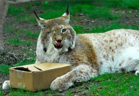lynx and box