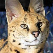 In-Sync Exotics - Serval